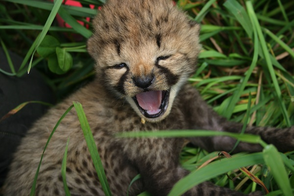 Baby Cheetah Cubs at the National Zoo Are Healthy and Active (Pictures)