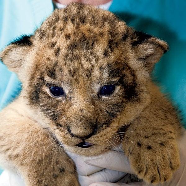 Birth of a Lion