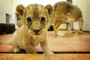 Zoo News: Baby Lions on the Way