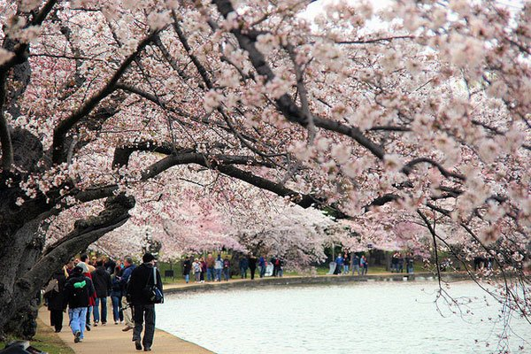 All About the Cherry Blossoms