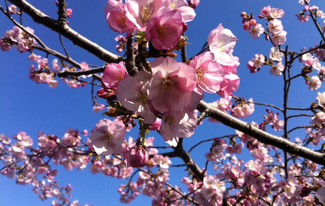 Metro Track Work Will Not Brake for (Early) Blossoms