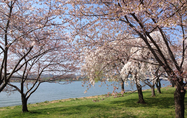 How Does the National Park Service Know When the Cherry Trees Will Blossom?