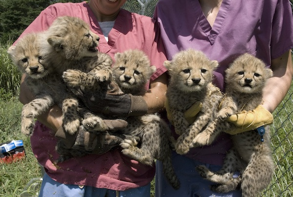 Smithsonian Cheetahs Heathy and Growing