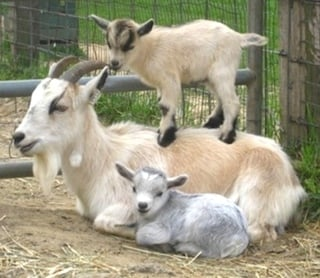 Goat Yoga + Live Music at The Little Goat Farm at the Lake