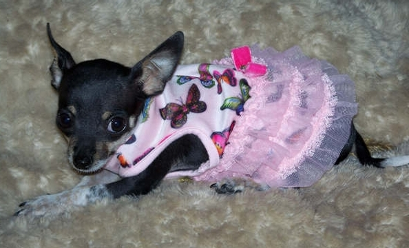 This three-and-a-half pound chihuahua makes for a pint-size ballerina.