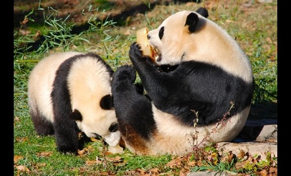 Bye Bye, Butterstick: Tai Shan Goes to China