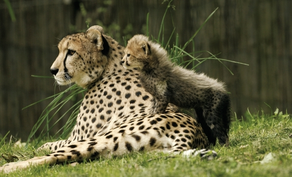 The zoo hopes to bring more cheetahs from Africa to its Conservation and Research Center. A nine-acre facility there can hold up to 12 adult cheetahs and their offspring.