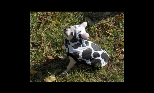 "Cutigirl's owner, Sherrie, is known to her friends as ""the cow lady"" because she just loves the spotted animals—she says her grandfather even kept them as pets. So it's probably no surprise that she dressed Cutigirl up as a calf."