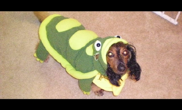 This is Canoli, a long-haired dachshund. We can't quite make sense of the costume—a turtle or a dinosaur? What do you think?