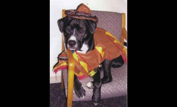 "From his owner: ""Diesel was rescued from the Washington Humane Society almost three years ago. He not only loves playing with his friends at Dogtopia Daycare but coming to the office with his mom and dad. This year for Halloween he decided to salute his f"