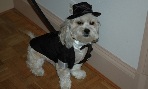 Diggs, a five-year-old Lhasa apso/Tibetan terrier mix, looks regal in his tuxedo—if a bit peeved at having to wear it.