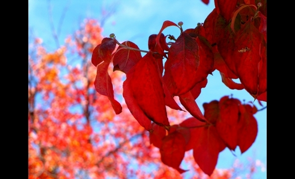 Red leaves in Wheaton, Maryland.