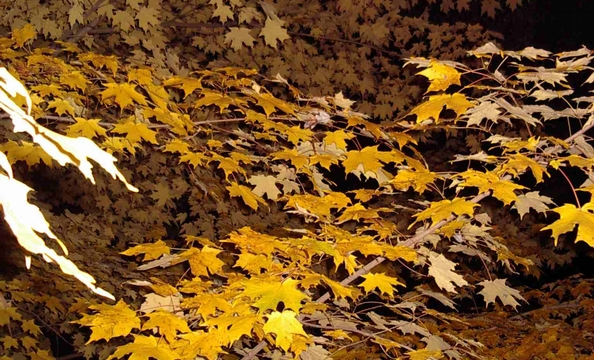 Suzanne Fulton took this photo of leaves at night in front yard in Great Falls.