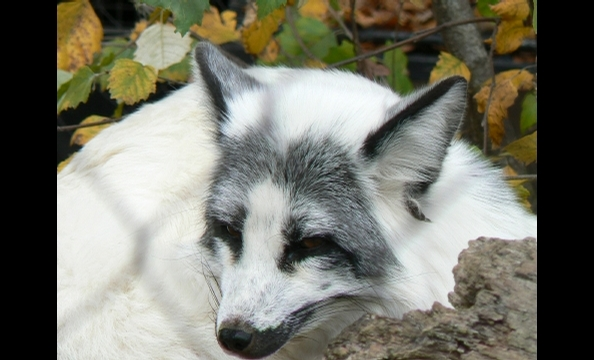 The arctic fox at the Baltimore Zoo in relaxes in fall leaves.