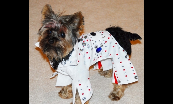 Meet Peewee, our canine Elvis. His owner says the little yorkie actually dances.