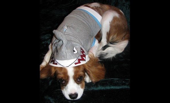 "A poem from the owner: ""A stray dog's bite was quite a fright for this Great White. But 10 sutures looked just right on Kingsley's ensemble Halloween night."""
