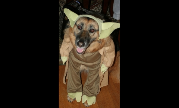 "From the owner: ""This is Toffee, our German shepherd/collie mix adopted from the Washington Humane Society in 2006. Her nickname is Yoda because of how she holds her ears, so what better costume for her. 'Treats to me you will give!' """