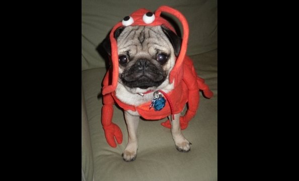 "Writes the photographer, ""Meet our loving pug Waldo, or Wally for short, dressed in his fanciful lobster costume. He is just over a year old and loves attention and giving kisses!"""