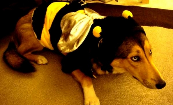 Zara, seen here as BumbleDog, is a two-year old collie/husky/German shepherd mix. She enjoys long walks in the park, chasing squirrels, and eating cupcakes. According to her owner, she would like to wish all Washingtonian readers a very Happy Howl-o-ween.