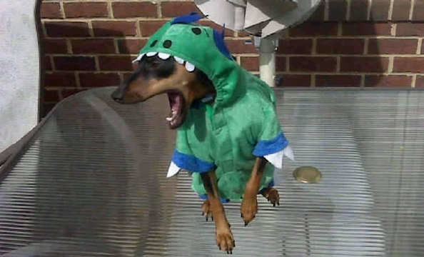 This is three-year-old miniature pinscher, Dahlia, dressed up like a dinosaur.