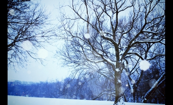A snowy tree in Rose Park