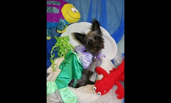 Sophie is a three year old Yorkie-Poo. She is a working girl that goes to the office with her Mom everyday at the Edmund J. Flynn Company.  This year for Halloween she is the Little Mermaid. She previously has enjoyed being Snow White.