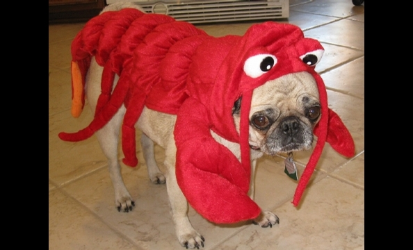 Curli, a nine-year-old pug, looks . . . um, thrilled . . . to be dressed like a lobster.