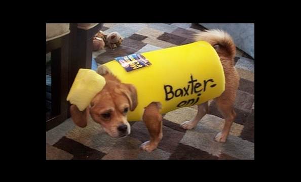 Three-year-old Baxter, a beagle/Pekingese mix, dressed as a macaroni noodle for Halloween last year.