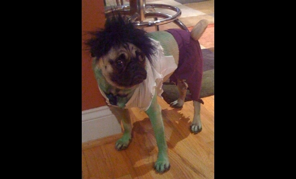 "Owners Gwen and Eric dressed their pug, Blue, as the Incredible Hulk—going so far as to dye his fur green with food coloring. Says Gwen, ""He is puzzled by the hairpiece on his head, and walks like an old cowboy because of the purple pants."""