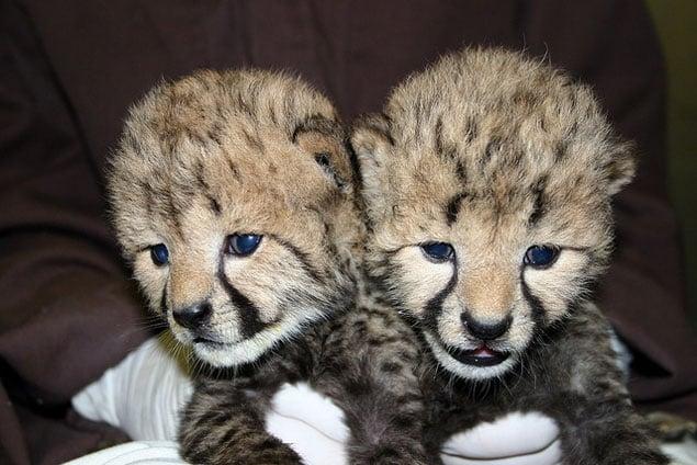 Adorable Cheetah Cubs Land at the National Zoo