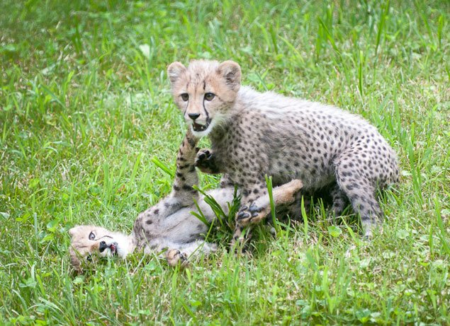 The National Zoo's Baby Cheetahs Go Public This Saturday