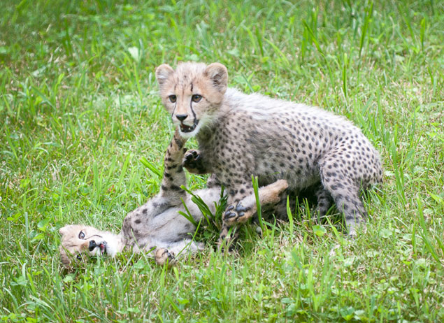 National Zoo Names Cheetah Cubs After Olympic Runners