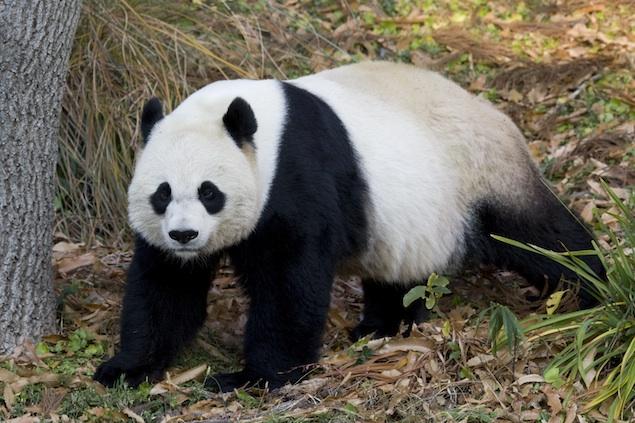 Following Panda Cub's Death, Mei Xiang Recovering, Zoo Staff Learning