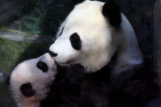 How the Giant Pandas Get Their Names