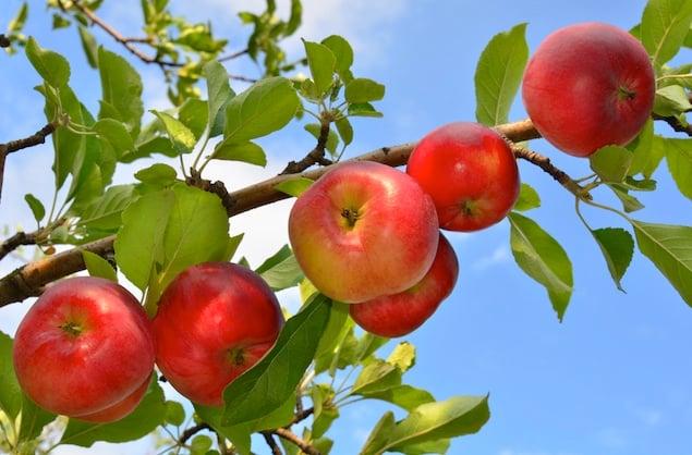 Where to Go Apple-Picking in Washington