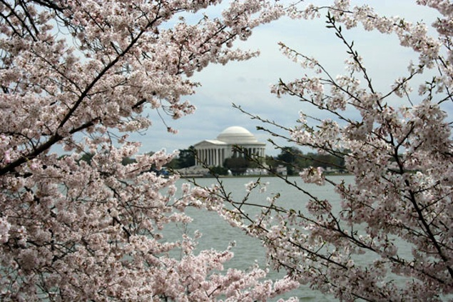Only Three Weeks Until the Peak of Cherry Blossoms