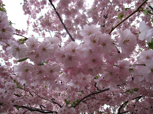 UPDATE: National Park Service Postpones Cherry Blossom Peak Bloom Dates