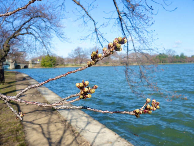 The Tidal Basin Only Has Buds, Not Cherry Blossoms (Photos)