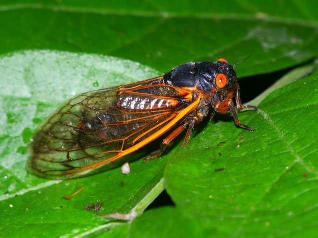 Word From the Bug-Hunter: Washington Dodged a Cicada Invasion