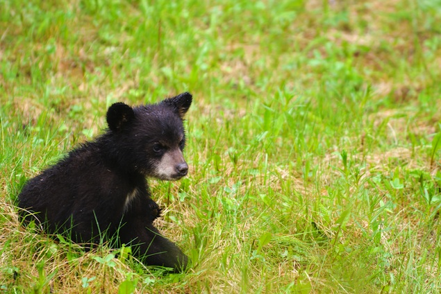 Bear Sightings Reported in Suburban Washington
