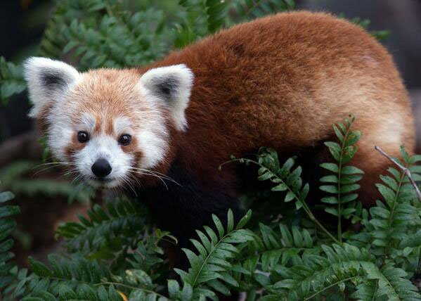 Update: Red Panda Missing From National Zoo