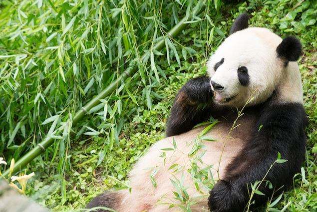Good News for Panda Lovers: New and Improved Panda Cams