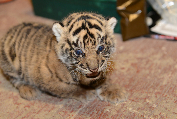 Cuteness Overload: National Zoo's Tiger Cubs Get Their First Check-up