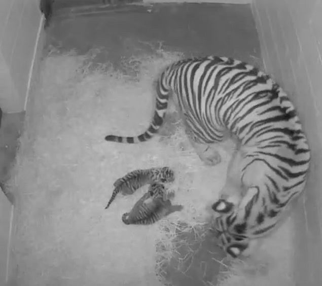 Baby News at the Zoo: 2 New Tiger Cubs; Panda Pregnancy a Big Maybe