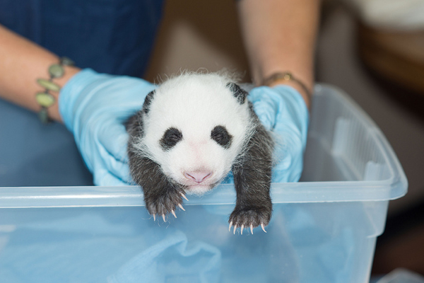 """Wiggly and Squirmy"" Panda Cub Gets Another Checkup"