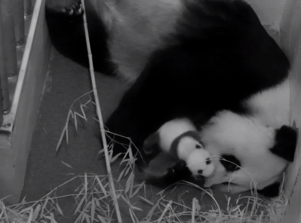 Congress: If You Don't Fund the Government, the National Zoo Will Kill This Panda Cam