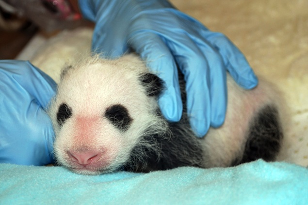And Now for the Latest Panda Cub Update