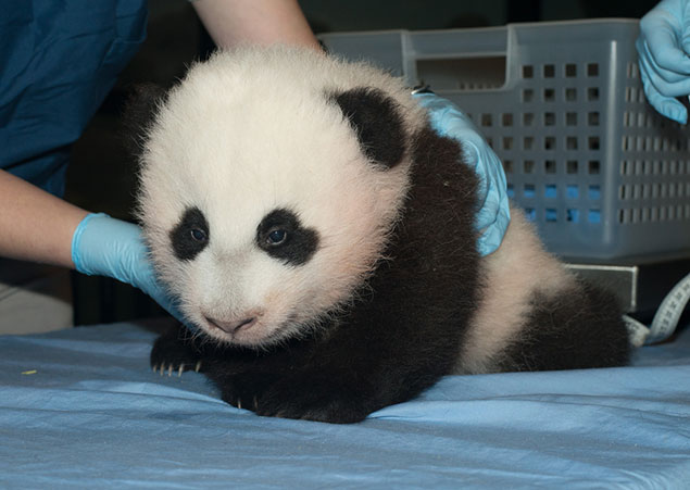 The Public Is Invited to Attend the Panda Cub Naming Ceremony on Sunday