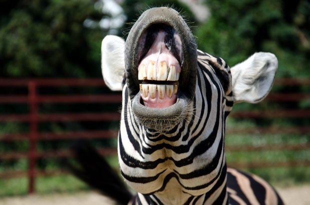 Are Zebras Running Amok at the National Zoo?