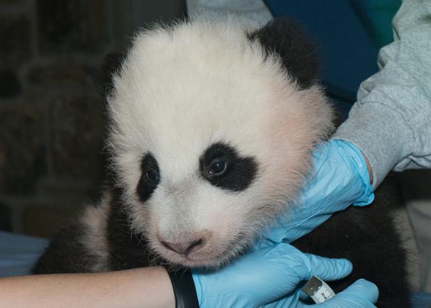 "National Zoo's Panda Cub Is Named ""Bao Bao"""